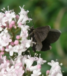 Chimney Sweeper on Valerian