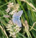 Common Blue Male on Cocksfoot
