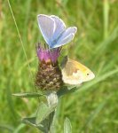 Common Blue and Small Heath