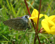 Common Blue feeding on Trefoil