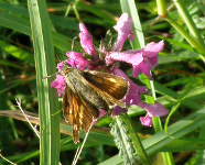 Large Skipper on betony, Haggs 2010