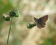Male Northern Brown Argus.