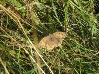 Meadow Brown butterfly rests