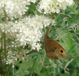 Meadow Brown on meadowsweet
