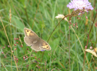 Meadow Brown on field scabious.