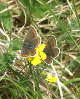 Northern Brown Argus females.