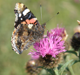 Red Admiral on common knapweed, Winskill Sept 09.