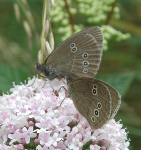 Ringlets on Valerian
