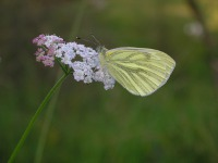 green veined white on yarrow
