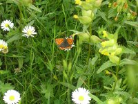 small copper butterfly on a daisy