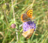 A Small Copper butterfly (top) feeding on devil's-bit scabious at Lower Winskill.