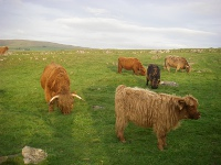 Highland cows and calves..
