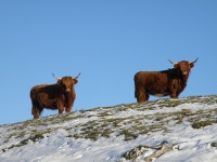 Highland cows in the Far pasture in winter.