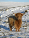 Pale coated Highland cow in the Parc pasture in winter.