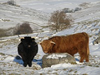 Black coated Highland cow and bull.