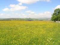 Buttercups and hay rattle