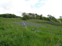 Bluebells in the Far End pasture.