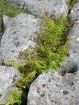 Lady Fern growing on limestone pavement.