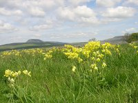 cowslips close up scar edge