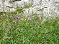meadow cranesbill and knapweed caker scar