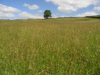 yellow rattle seed heads Higher Stackbottom